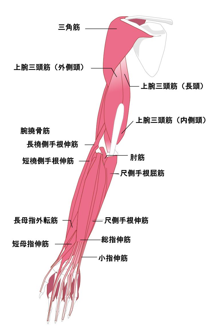 腕の裏側の筋肉
